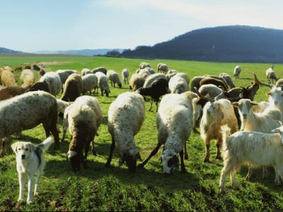 Агнета и кози